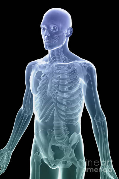 Photograph - Bones Of The Upper Body by Science Picture Co