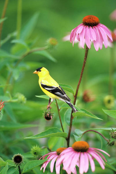 Finch Photograph - American Goldfinch (carduelis Tristis by Richard and Susan Day
