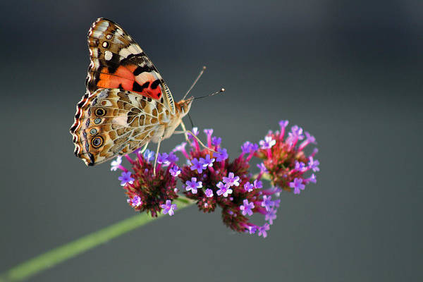 Photograph - American Painted Lady Butterfly by Karen Adams