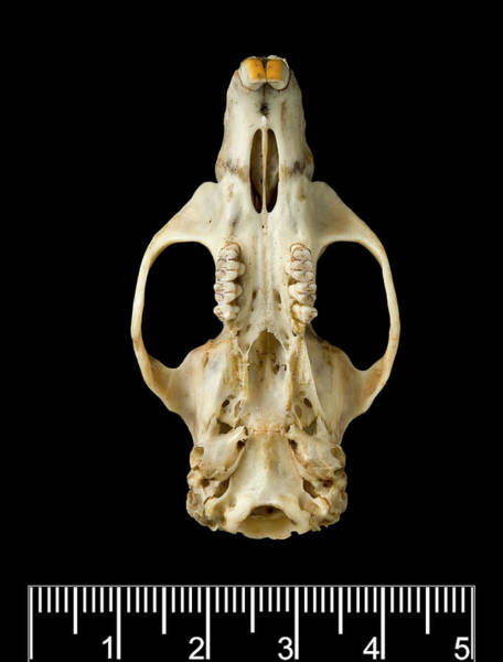 Wall Art - Photograph - Antillean Giant Rice Rat Skull by Natural History Museum, London/science Photo Library