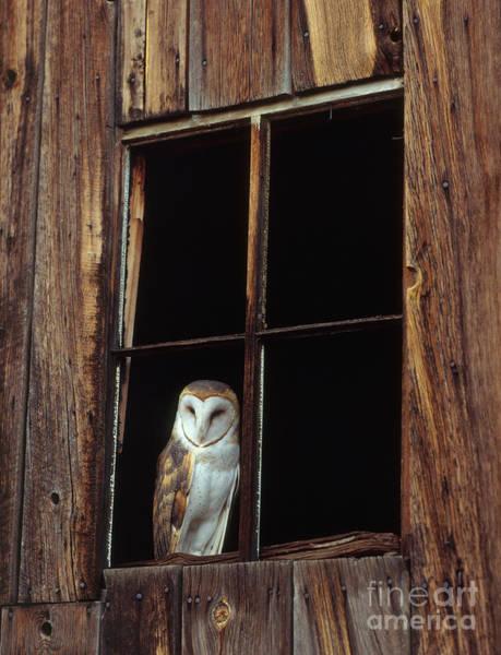 Photograph - Barn Owl by Hans Reinhard