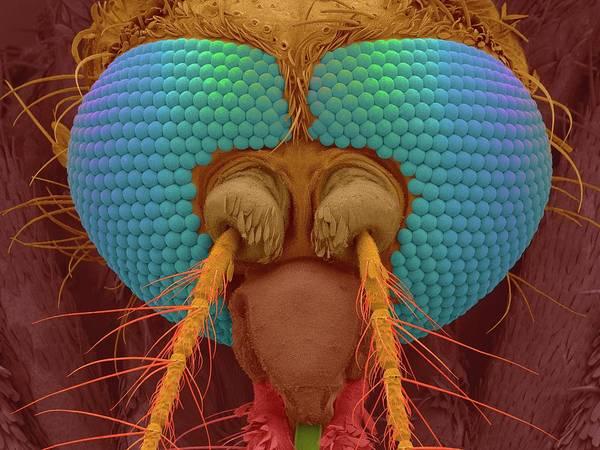 Wall Art - Photograph - Black Salt Marsh Mosquito by Dennis Kunkel Microscopy/science Photo Library