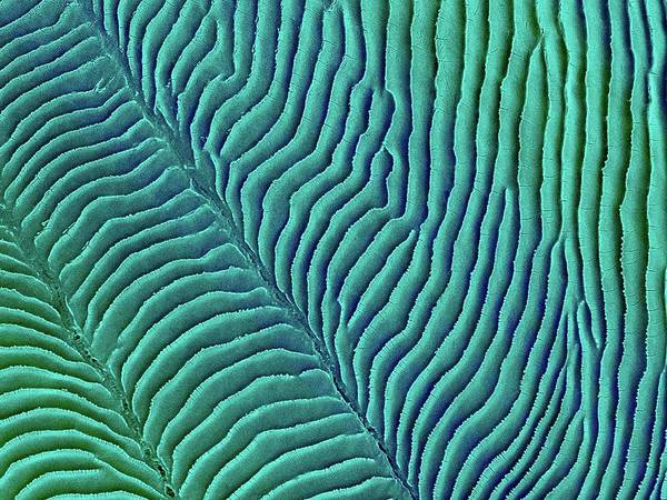 Wall Art - Photograph - Convict Cichlid Fish Scale by Dennis Kunkel Microscopy/science Photo Library