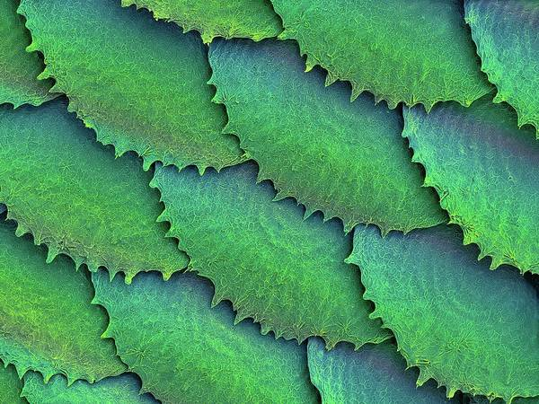 Wall Art - Photograph - Convict Cichlid Fish Scales by Dennis Kunkel Microscopy/science Photo Library