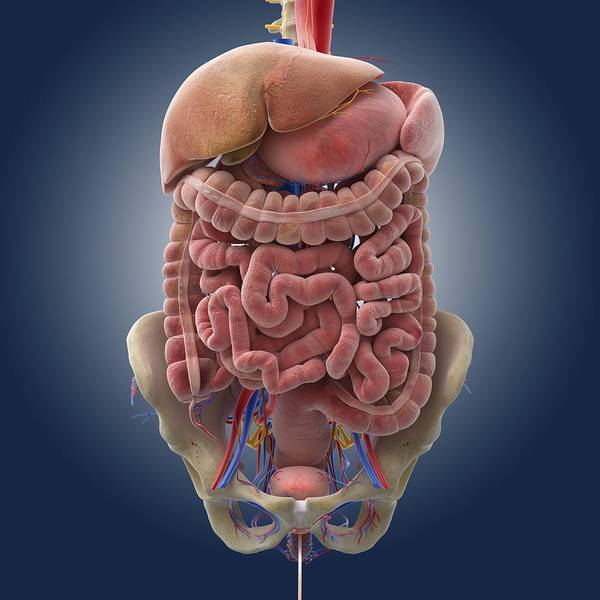 Common Bile Duct Photograph - Digestive System, Artwork by Science Photo Library