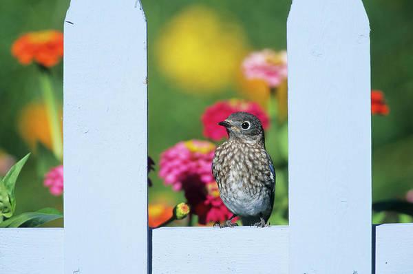 Turdidae Wall Art - Photograph - Eastern Bluebird (sialia Sialis by Richard and Susan Day