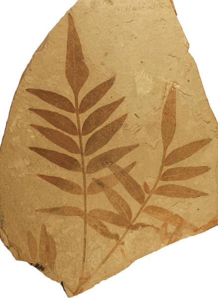 Wall Art - Photograph - Florissant Formation Plant Fossil by Natural History Museum, London/science Photo Library