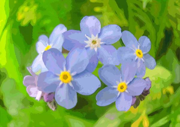 Photograph - Forget-me-not by Michael Goyberg