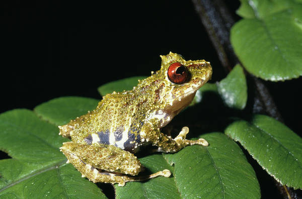 Robbers Photograph - Frog by Dr Morley Read/science Photo Library