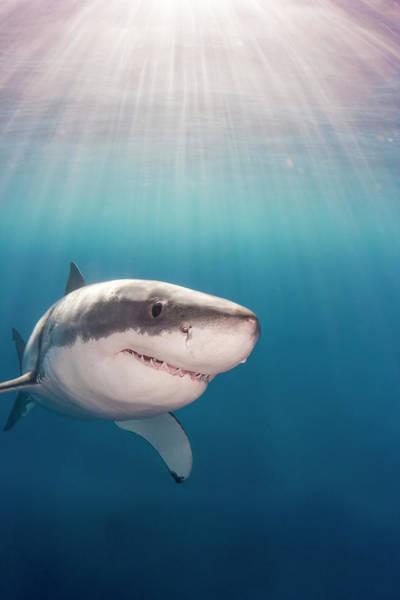 Wall Art - Photograph - Great White Shark  Carcharodon by Dave Fleetham