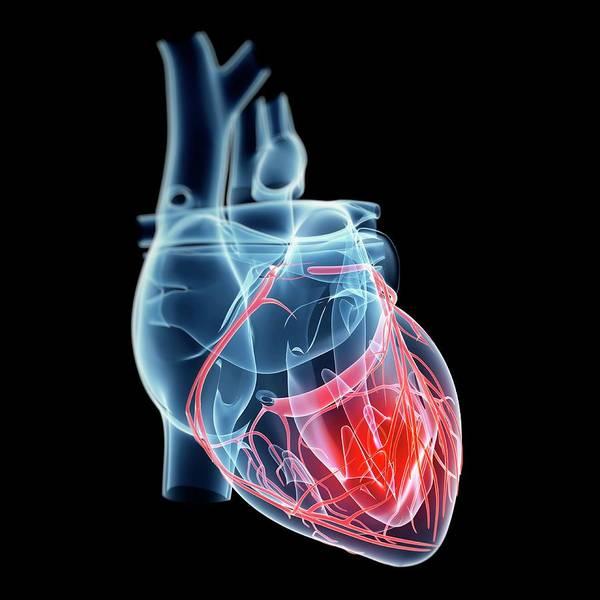 Wall Art - Photograph - Human Heart by Sebastian Kaulitzki