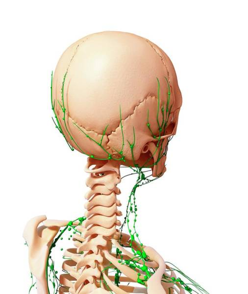Head And Shoulders Photograph - Human Lymphatic System by Pixologicstudio/science Photo Library