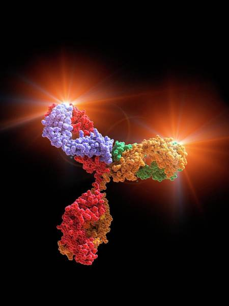 Antibody Wall Art - Photograph - Immunoglobulin G Antibody Molecule by Alfred Pasieka