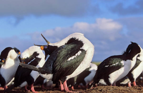 Courtship Display Photograph - Imperial Shag Or King Shag by Martin Zwick