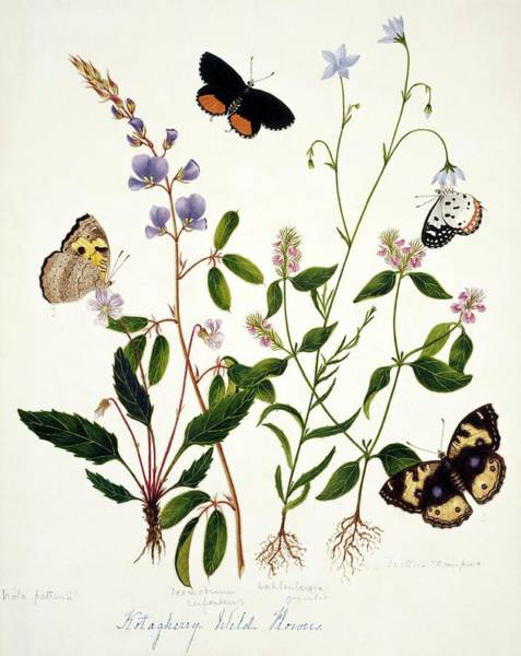 Wall Art - Photograph - Indian Butterflies And Flowers by Natural History Museum, London/science Photo Library