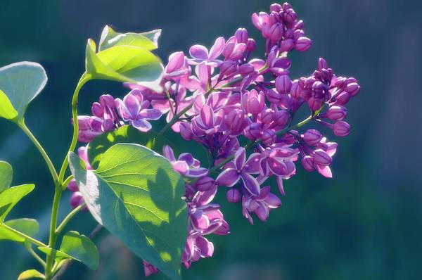 Lilac Photograph - Lilac (syringa Vulgaris) by Maria Mosolova/science Photo Library