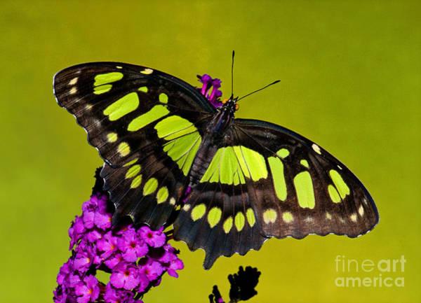 Photograph - Malachite Butterfly by Millard H Sharp