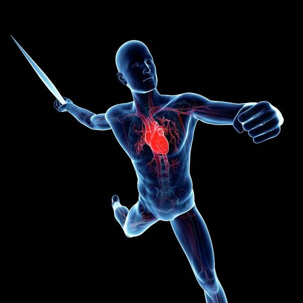 Javelin Photograph - Male Cardiovascular System by Sciepro/science Photo Library