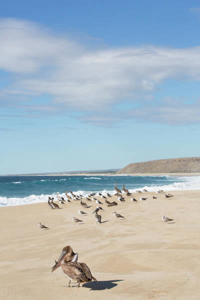 California Brown Pelican Photograph - Mexico, Baja California Sur, Todos by John and Lisa Merrill
