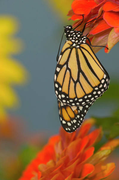 Zinnia Wall Art - Photograph - Monarch Butterfly, Danaus Plexippus by Darrell Gulin