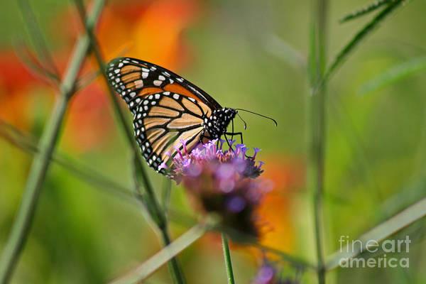Photograph - Monarch Butterfly In Garden by Karen Adams