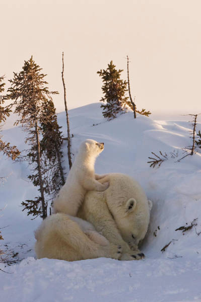 Behavior Photograph - Mother Polar Bear With Three Cubs by Keren Su