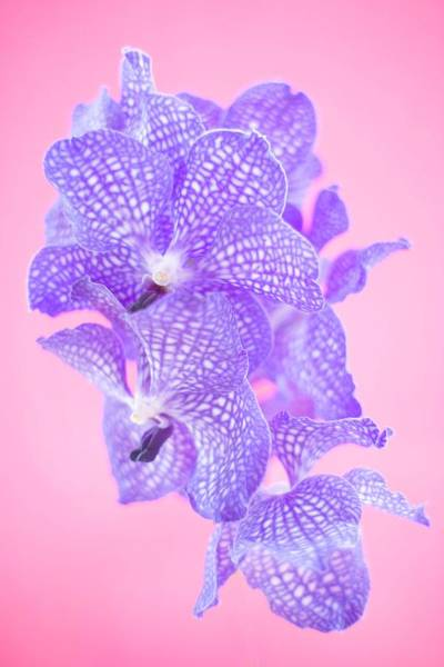 Horticulture Photograph - Orchid Flowers by Ian Hooton/science Photo Library
