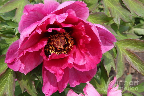Wall Art - Photograph - Pink Peony by Christiane Schulze Art And Photography