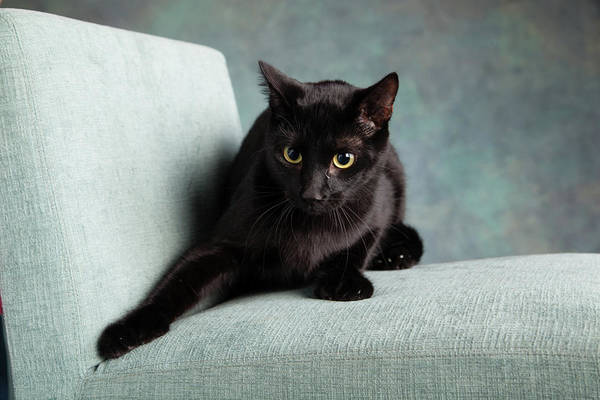 Black Cats Photograph - Portrait Of A Black Cat On A Chair by Animal Images