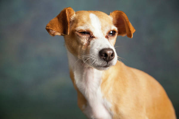 Wall Art - Photograph - Portrait Of A Chihauhua Mix Dog by Animal Images