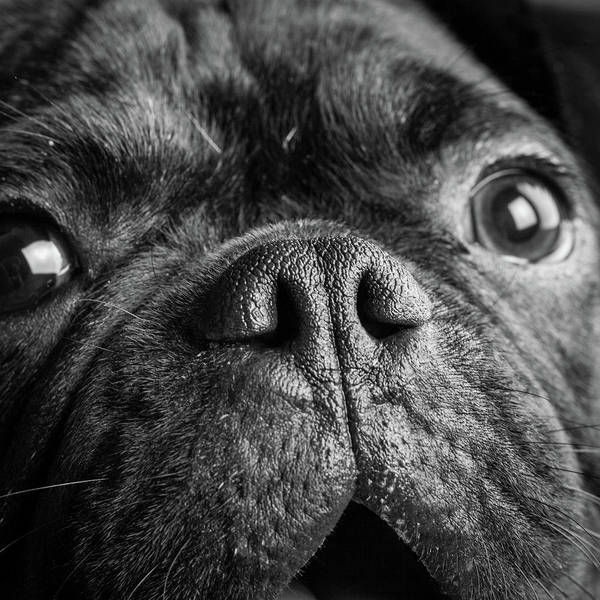 Wall Art - Photograph - Portrait Of Pug Bulldog Mix Dog by Animal Images