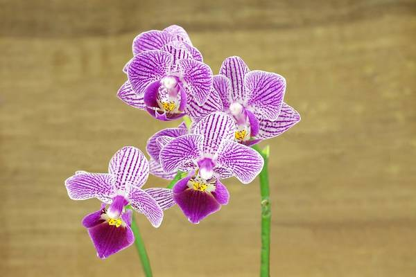 Photograph - Purple Orchid by Rudy Umans