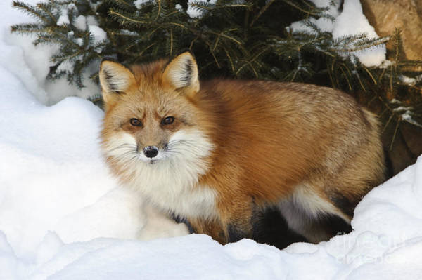 Photograph - Red Fox by John Shaw