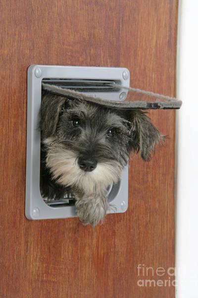 Naughty Dog Wall Art - Photograph - Schnauzer Puppy Dog by John Daniels