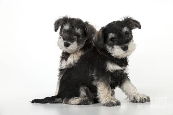 Schnauzer Photograph - Schnauzer Puppy Dogs by John Daniels