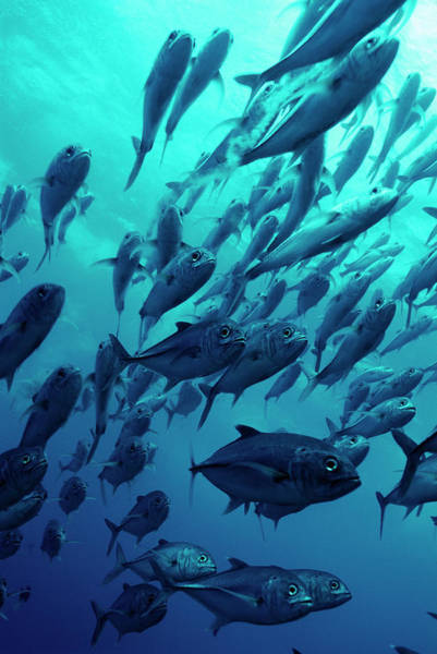 Trevally Photograph - Schooling Jackfish by Matthew Oldfield/science Photo Library