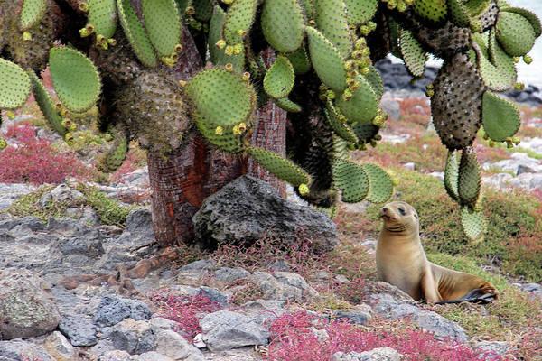 Opuntia Photograph - South America, Ecuador, Galapagos by Kymri Wilt