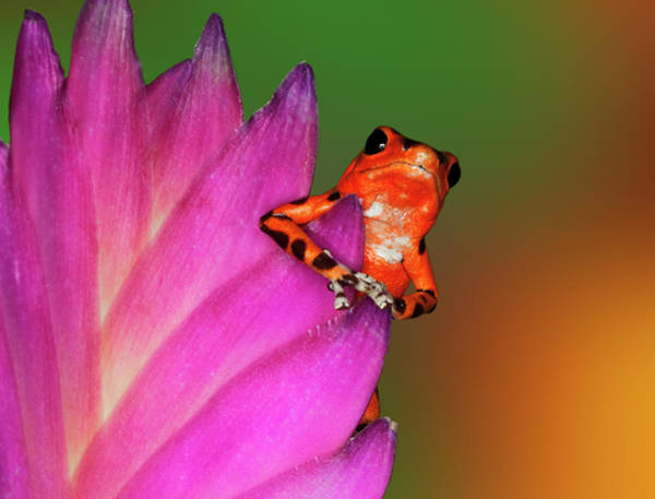 Poison Dart Frog Photograph - South America, Panama by Jaynes Gallery