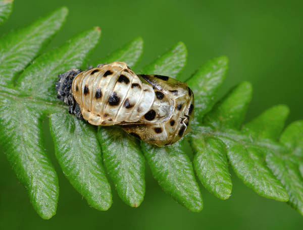 Pupa Photograph - 7-spot Ladybird Emerging From Pupa by Nigel Downer