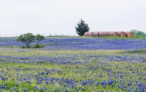 Texas Bluebonnets 5 Art Print