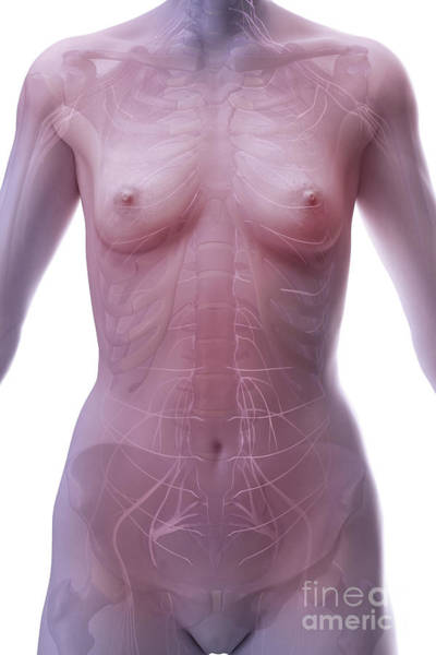 Photograph - The Nervous System Female by Science Picture Co