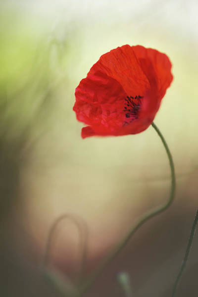 Red Poppies Wall Art - Photograph - Untitled by Keren Or