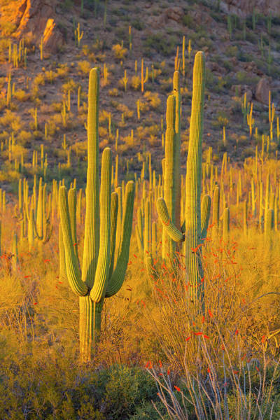 Desert Plant Photograph - Usa, Arizona, Tucson by Jaynes Gallery