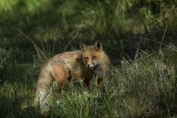 Canine Photograph - Usa, Colorado, Pike National Forest by Jaynes Gallery