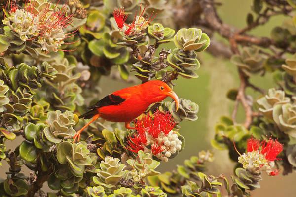 Ohia Photograph - Usa Hawaii, Maui, Haleakala National by Jaynes Gallery