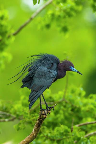Little Blue Heron Photograph - Usa, Louisiana, Jefferson Island by Jaynes Gallery