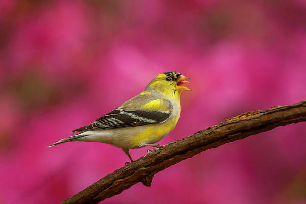 Goldfinch Photograph - Usa, North Carolina, Guilford County by Jaynes Gallery