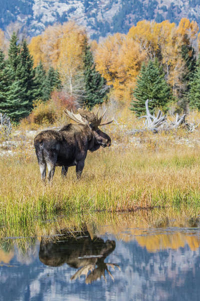 Alces Alces Photograph - Usa, Wyoming, Grand Teton National by Elizabeth Boehm