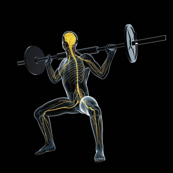 Nervous System Photograph - Weightlifter by Sciepro/science Photo Library