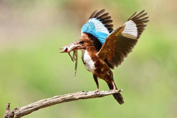 Bird Feed Photograph - White-throated Kingfisher by Photostock-israel